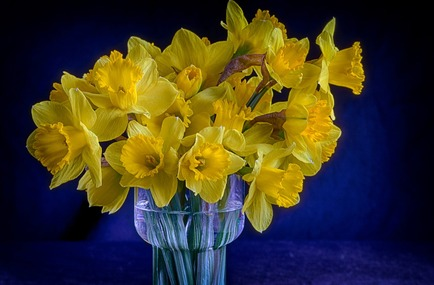 Stock image of daffodils